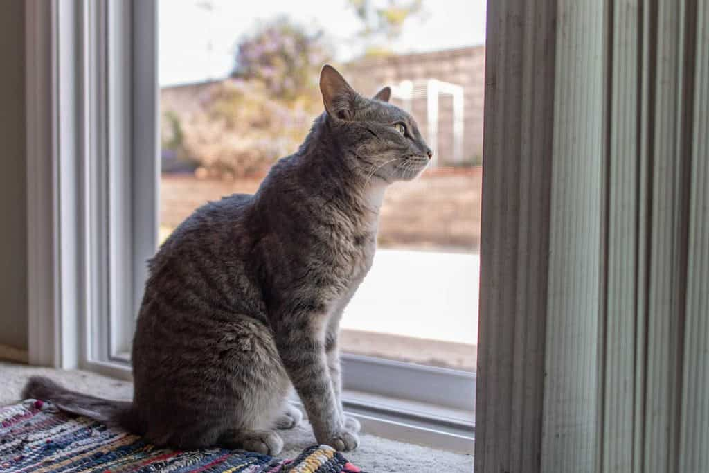 Gray stripped Tabby cat patiently waiting at screen door while looking out into the backyard