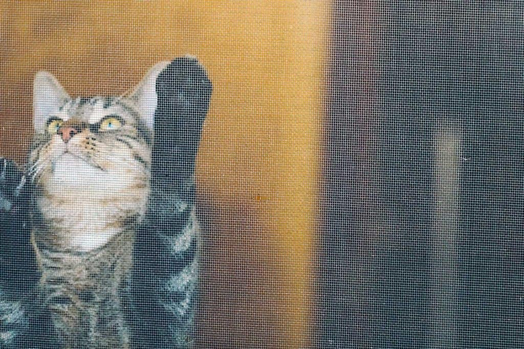 Male Mackerel Tabby cat sharpening his claws in a screen door